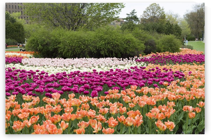 Tulip Bed 11 by Bob Corson