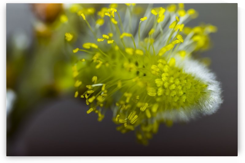 Macro of a pussey willow blossom 4 by Bob Corson