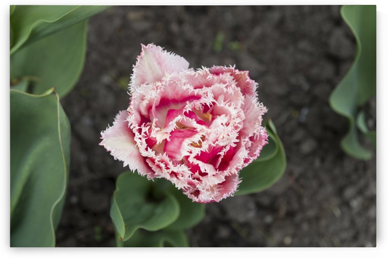 Pink Frilly Tulip by Bob Corson