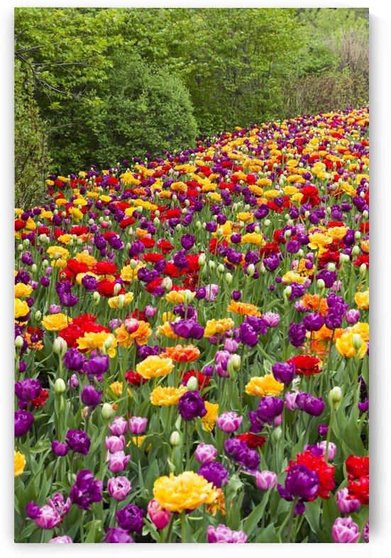 Tulip Bed 6 by Bob Corson