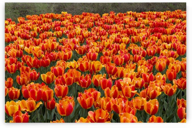 Ottawa Tulip Festival 9 by Bob Corson