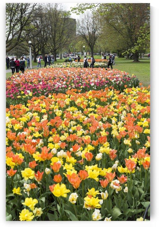 Ottawa Tulip Festival 6 by Bob Corson