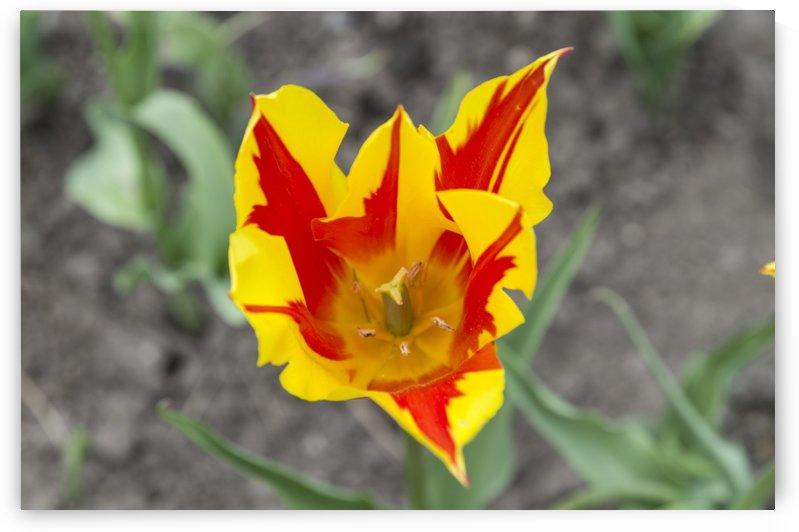 Ottawa Tulip Festival 5 by Bob Corson