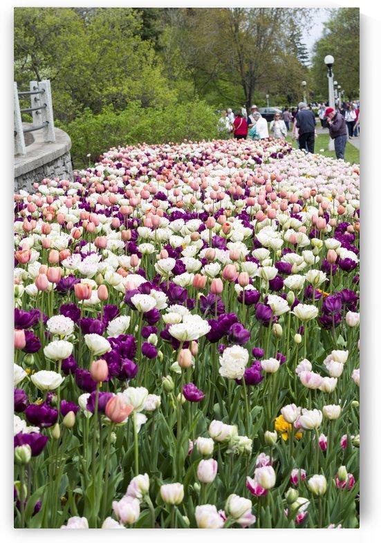 Ottawa tulip Festival 3 by Bob Corson