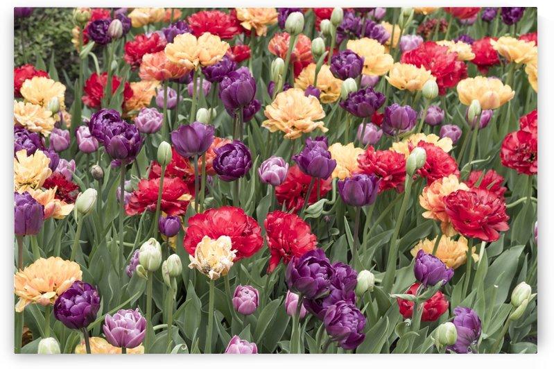 Ottawa Tulip Festival 2 by Bob Corson
