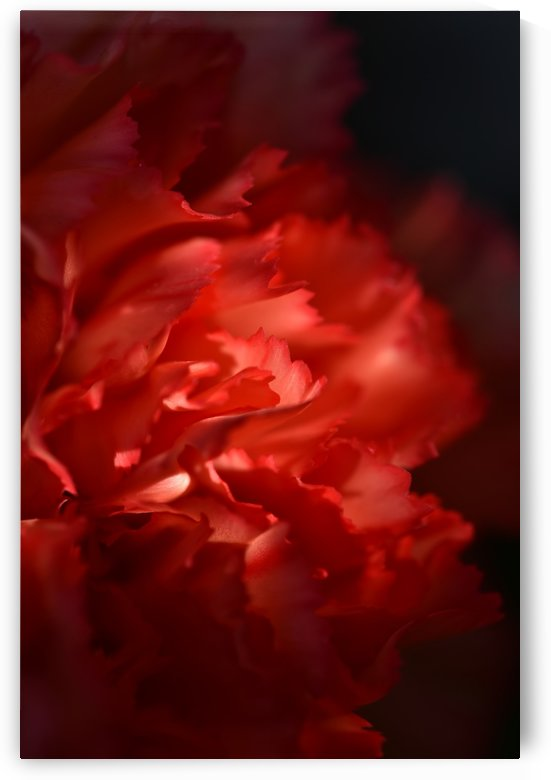 Close-up view of red petal by Krit of Studio OMG
