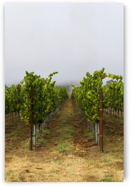 Foggy morning at the vineyard 4 by Bob Corson