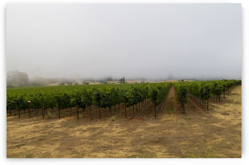 Foggy morning at the vineyard  by Bob Corson