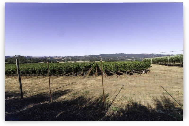 Sanata Rosa vineyard as the early morning fog clears 1 by Bob Corson