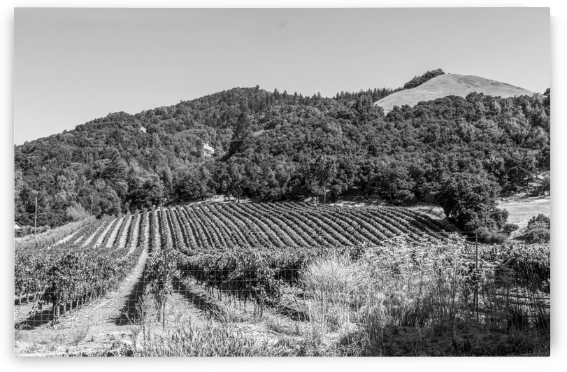 Vineyard outside Santa Rosa California bw by Bob Corson
