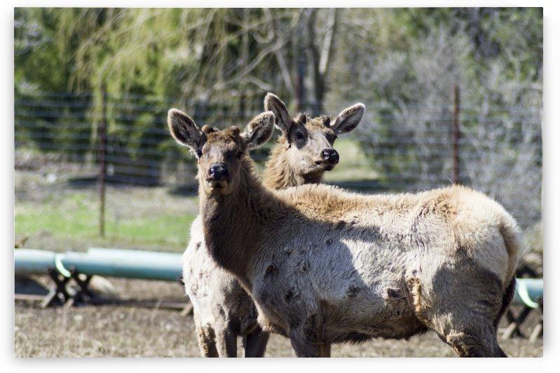 Elk Portrait 4 by Bob Corson