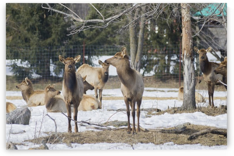 Elk Red Tailed Deer or Wapiti 15 by Bob Corson
