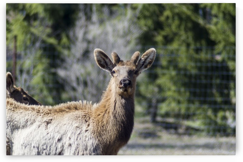 Elk Portrait 2 by Bob Corson