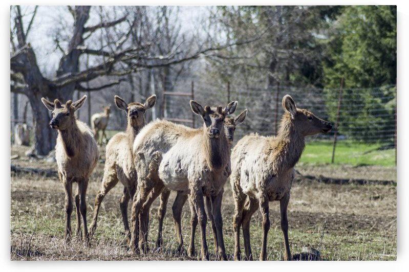 Elk Red Tailed Deer or Wapiti 5 by Bob Corson