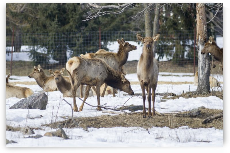 Elk Red Tailed Deer or Wapiti 3 by Bob Corson