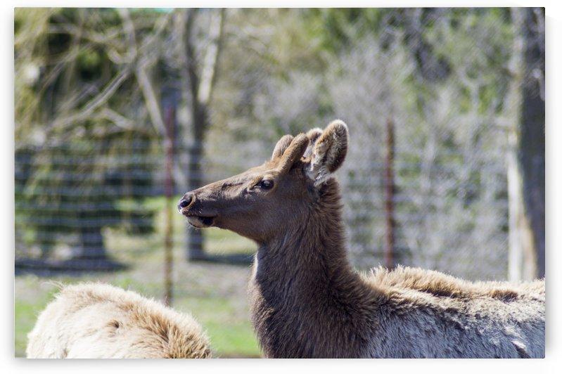 Elk Portrait by Bob Corson