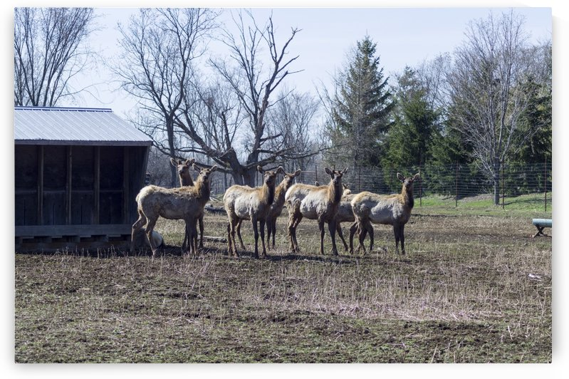 Elk Farm by Bob Corson