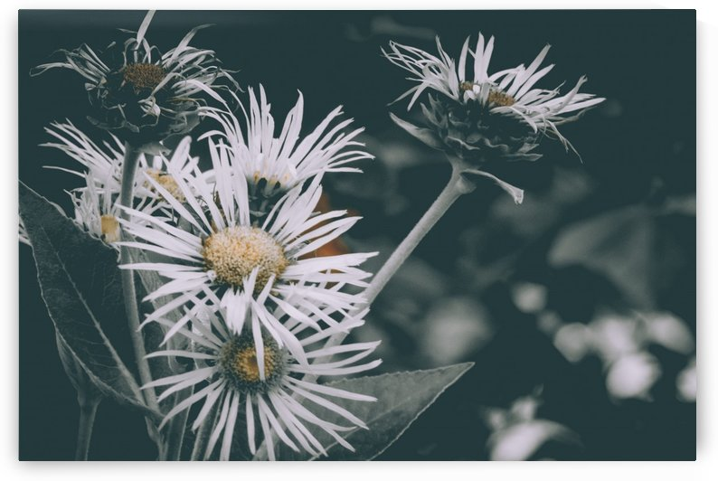 Daisy  by Faded Photos