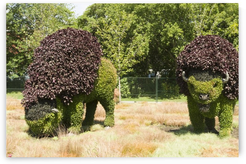 Grazing Buffalo 2 by Bob Corson