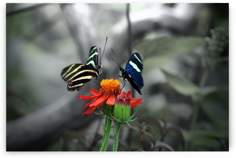 Dancing butterflies by Manny Berrios