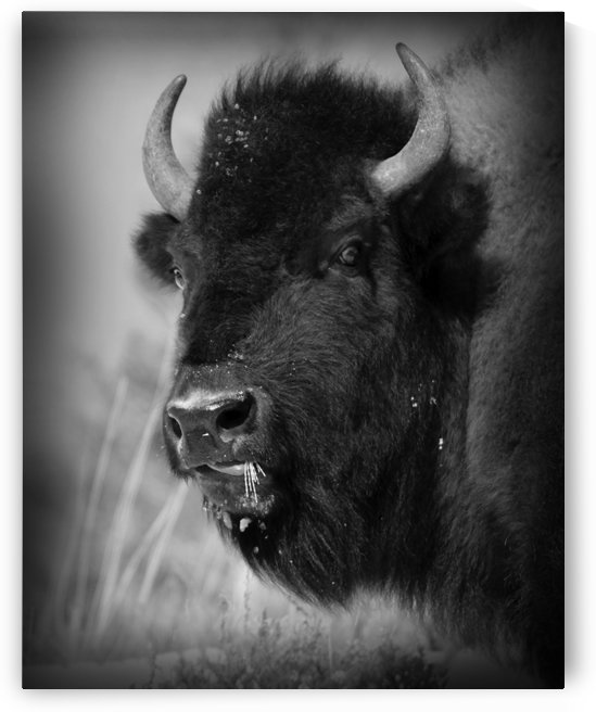 buffalo black and white by bostermiller