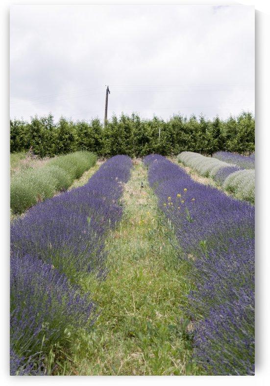 Lavender plants 6 by Bob Corson
