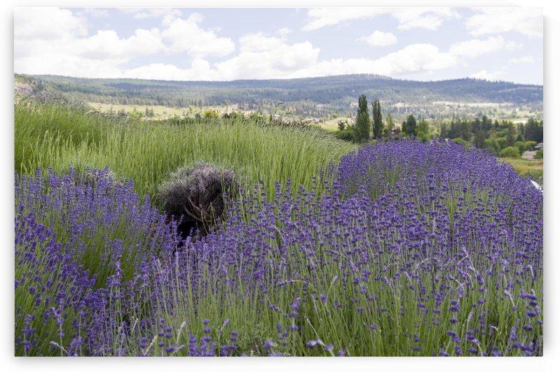 Lavender plants 5 by Bob Corson