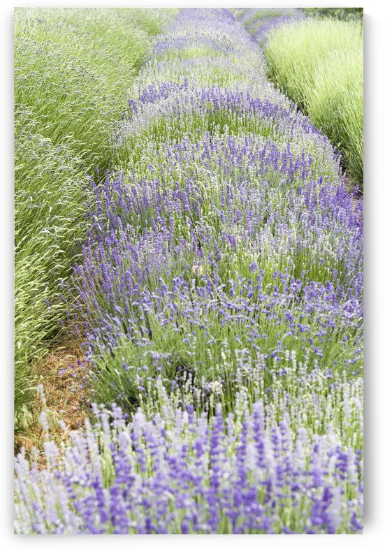 Lavender plants by Bob Corson