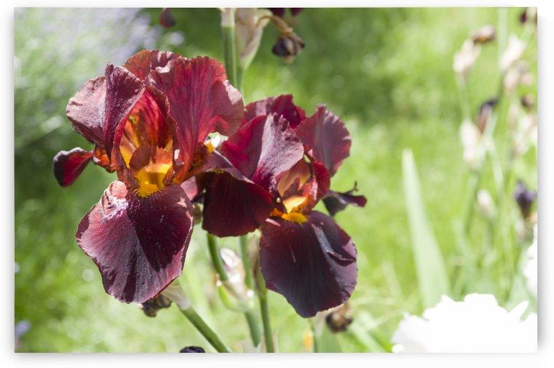 Rusty red coloured bearded iris by Bob Corson