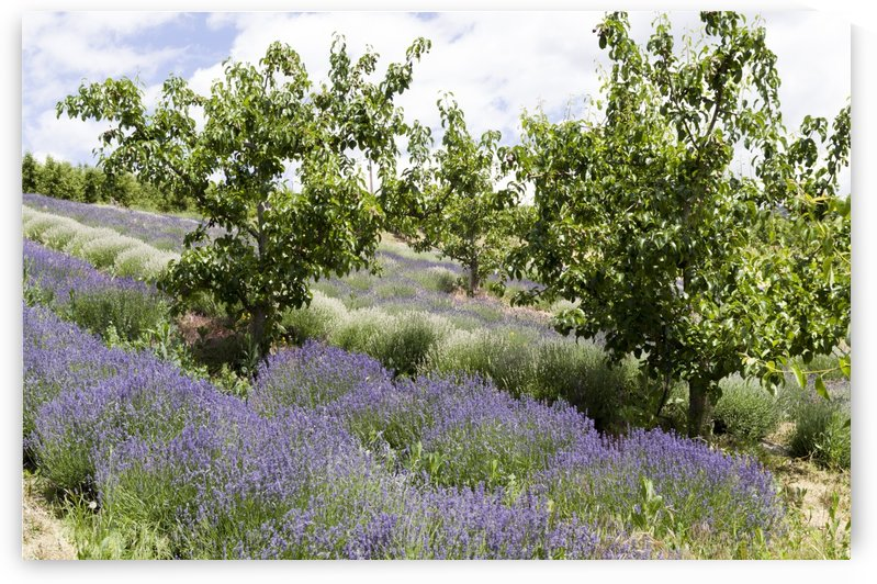 Lavender plants and fruit trees 5 by Bob Corson