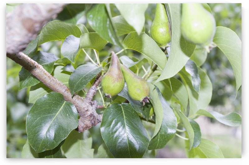 Pears 2 by Bob Corson