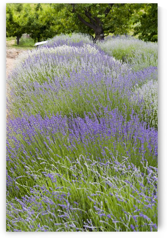 Lavender plants and fruit trees 4 by Bob Corson