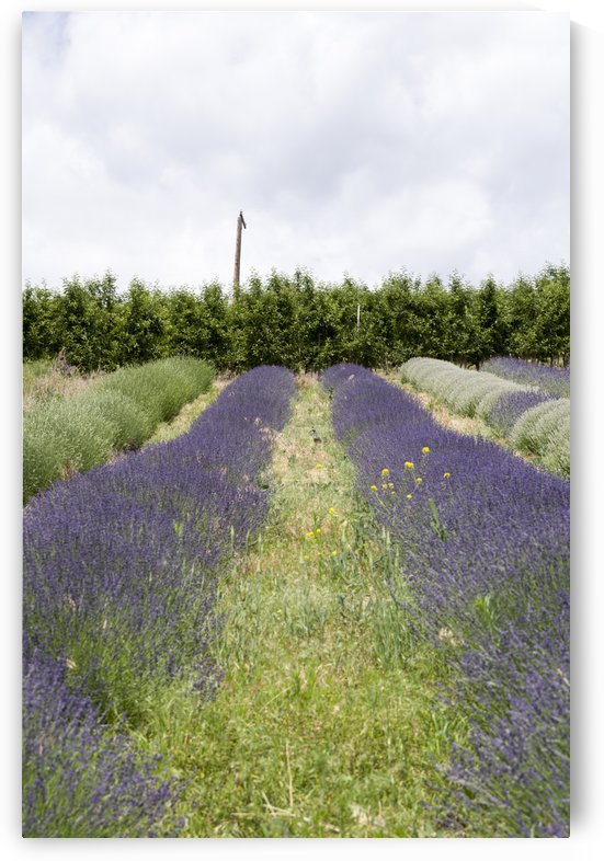 Lavender plants and fruit trees 2 by Bob Corson
