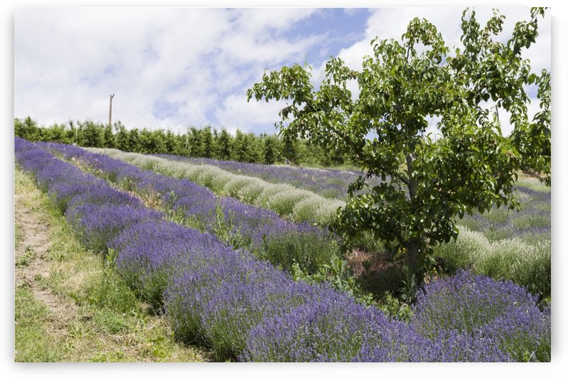 Lavender plants and fruit trees 1 by Bob Corson
