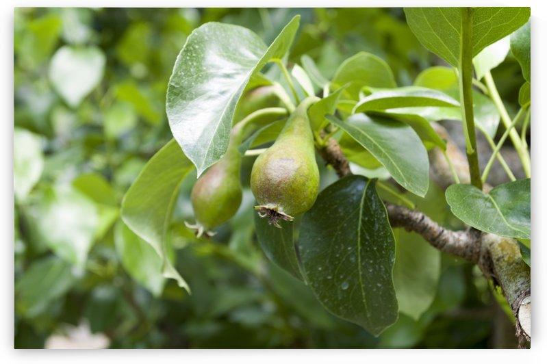 Pears by Bob Corson