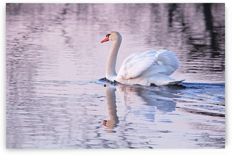 Swan In The Evening Light by Deb Oppermann