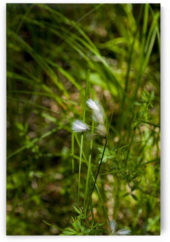 Arctic Grass 1 by Bob Corson