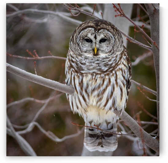 Barred Owl by Jimmie Pedersen