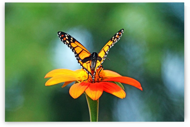 Elegant Monarch And Mexican Sunflower by Deb Oppermann