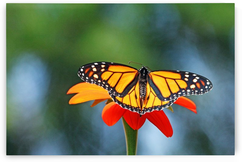 Monarch Butterfly  Resting On Tithonia by Deb Oppermann