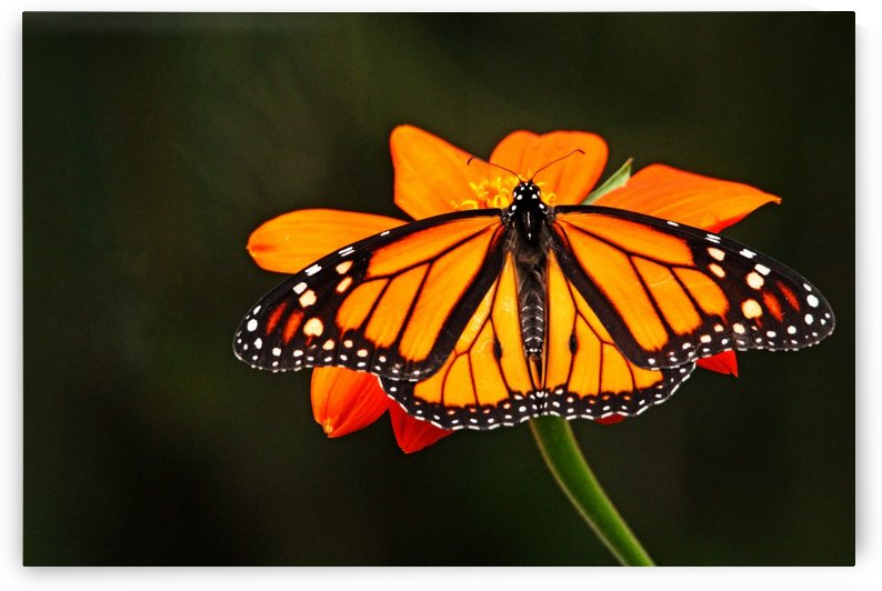 Monarch With Wings Wide Open by Deb Oppermann