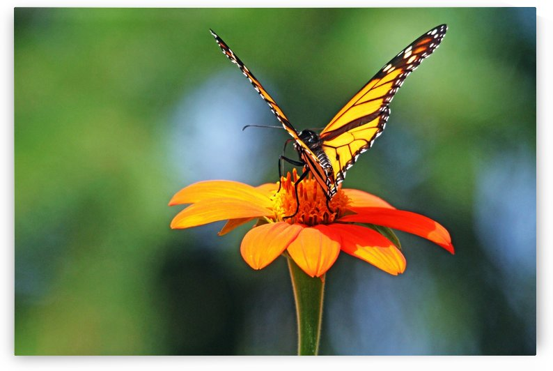 Orange Torch And Monarch by Deb Oppermann