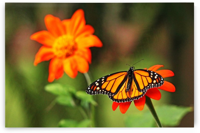 The Torch And The Monarch by Deb Oppermann