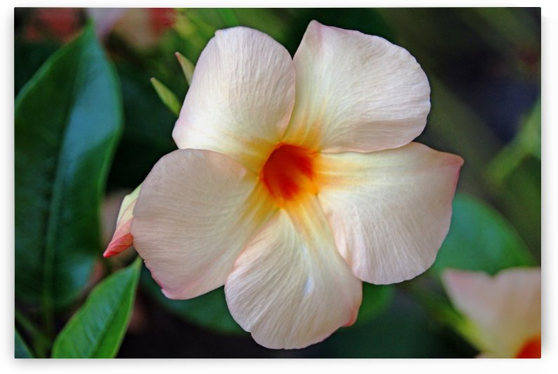 Mandevilla In Apricot by Deb Oppermann