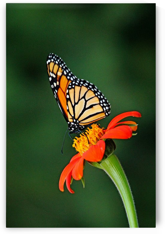 Monarch Butterfly  And The Torch by Deb Oppermann