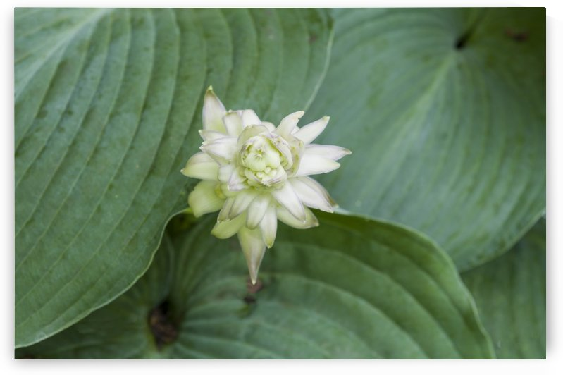 Hosta Bloom 3 by Bob Corson