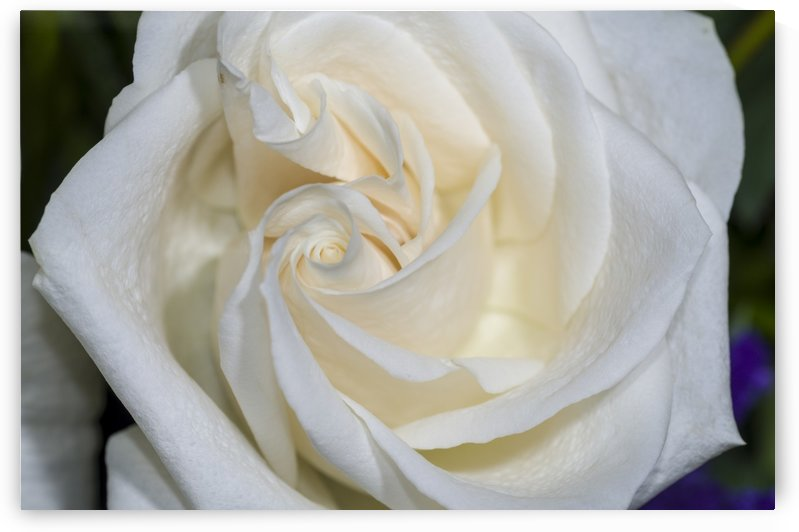 White Rose 3 by Bob Corson