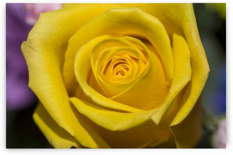 Yellow Rose 1 by Bob Corson