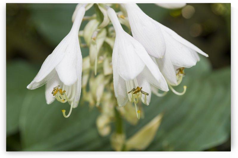Hosta Flower Cluster 2 by Bob Corson