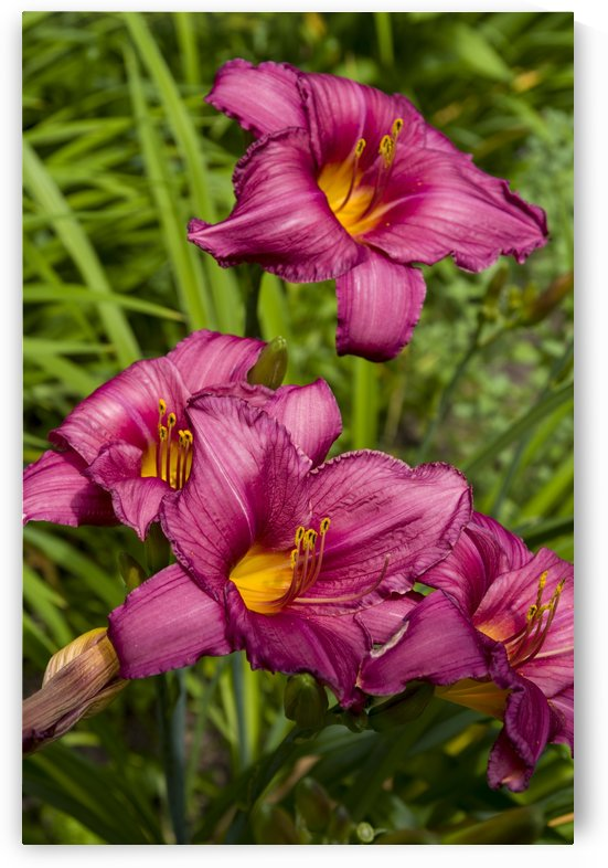 Purple Stella Doro Day Lily Flowers 3 by Bob Corson